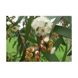 Essència d'eucaliptus